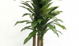 Potted Dracaena 1.8m
