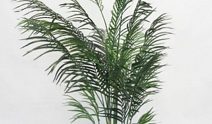 Potted Areca Palm 1.7m
