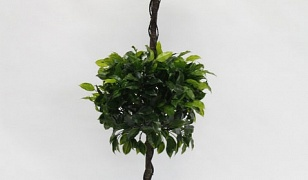Ficus Double Topiary 1.4m
