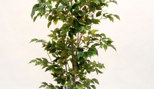 Potted Ficus Tree 1.8m
