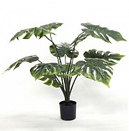 Monsteria Pot Plant 75cm