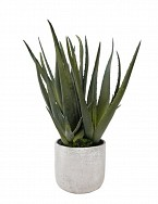 Potted Aloe in Black Garden Pot